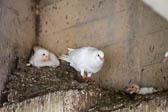 Pigeon_&_Dove-108