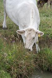 Cattle-101.jpg