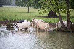 Cattle-105.jpg