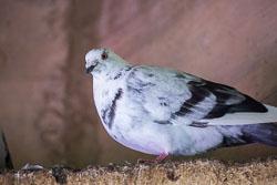 Pigeon-109.jpg