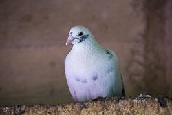 Pigeon-110.jpg