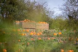 GUC_Pumpkins-003.jpg