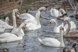 River_Avon_Swans-002.jpg