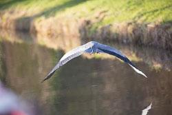 GUC_Heron-039.jpg