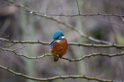GUC_Kingfisher-003.jpg