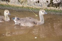 Canada_Geese_Shropshire_Union_Canal-011.jpg