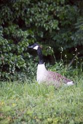 Canada_Geese_Shropshire_Union_Canal-025.jpg