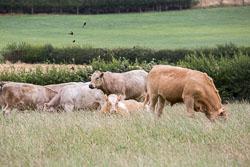 Cattle-102.jpg