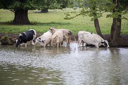 Cattle-104.jpg