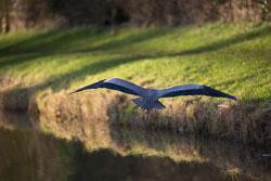 Heron-279.jpg