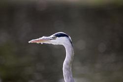 Heron-339.jpg