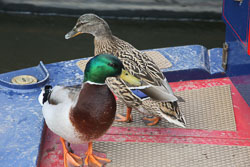 Mallard_Duck-018.jpg