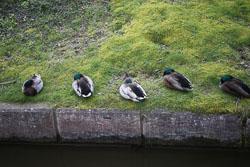 Mallard_Duck-038.jpg