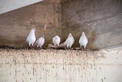 Pigeon_-_Dove-102.jpg