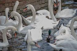 River_Avon_Swans-001.jpg