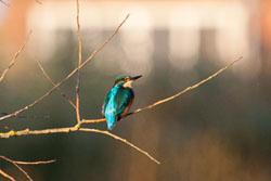 SUAC_Kingfisher-102.jpg