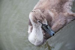 Swan_-_Cygnet-135.jpg