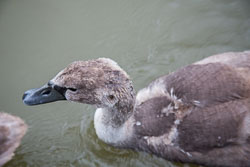 Swan_-_Cygnet-139.jpg