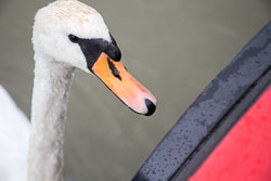 Swan_-_Cygnet-141.jpg