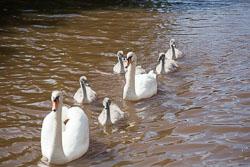 Swan_Shropshire_Union_Canal-011.jpg
