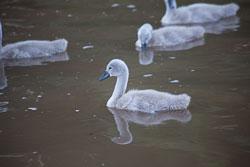Swan_Shropshire_Union_Canal-026.jpg