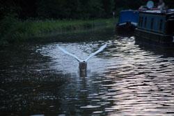 Swan_Shropshire_Union_Canal-031.jpg