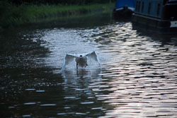 Swan_Shropshire_Union_Canal-032.jpg
