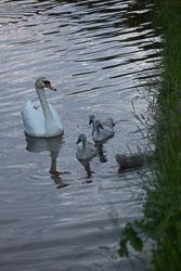 Swan_Shropshire_Union_Canal-038.jpg