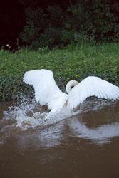 Swan_Shropshire_Union_Canal-058.jpg