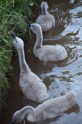 Swan_Shropshire_Union_Canal-070.jpg