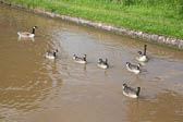 Canada_Geese_Shropshire_Union_Canal-004