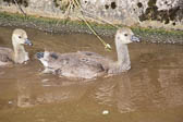 Canada_Geese_Shropshire_Union_Canal-011