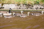 Canada_Geese_Shropshire_Union_Canal-012