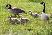 Canada_Geese_Shropshire_Union_Canal-015