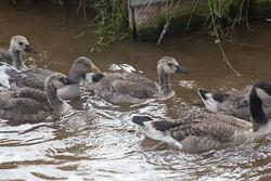 Canada_Geese_Shropshire_Union_Canal-005.jpg