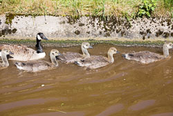 Canada_Geese_Shropshire_Union_Canal-012.jpg